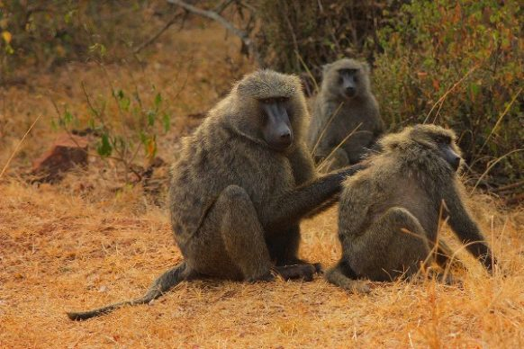 akagera national park baboons