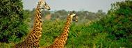 akageranp-giraffee