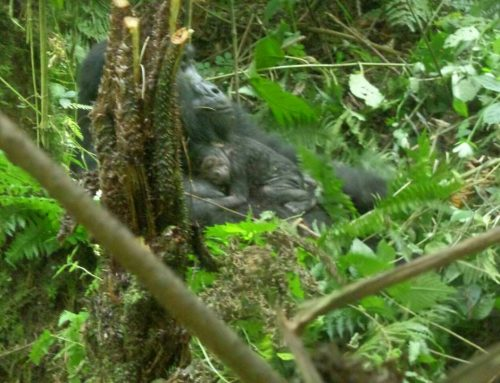 Baby Gorilla born – Bwindi Impenetrable National park