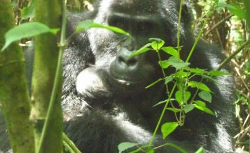 Flying Gorilla Safari in Uganda tour