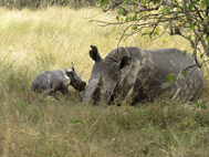 baby-rhino-uganda-safaris-uganda-tours