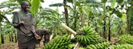 banan-growing-in-uganda