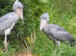 shoebill in mabamba-birding safari