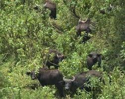 buffalo- akagera national park