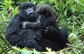gorillas in bwindi NP Uganda
