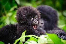bwindi - national forest -uganda