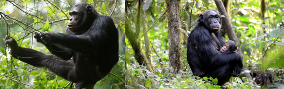 chimpanzee-in-nyungwe-rwanda-safari