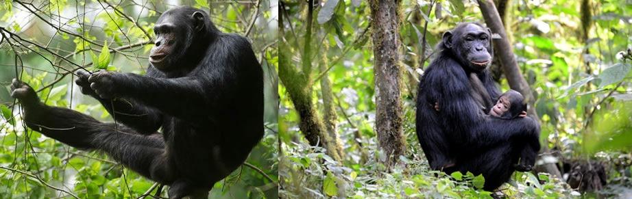 chimpanzee in nyungwe-rwanda safari