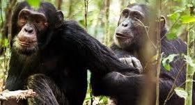 chimpanzee safaris-uganda