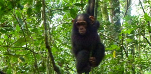 chimpanzee safaris in uganda