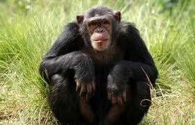 chimpanzee safaris