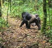 chimpanzee trekking safaris in Kibale