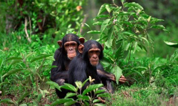 Chimpanzee sign language similar to human speech