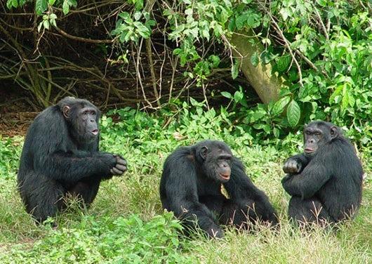 chimps-ngamba-chimpanzee