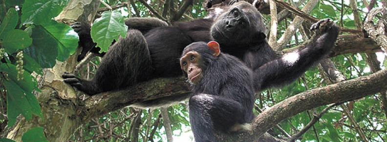 chimps-of-nyungwe