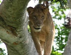 climbing-lion