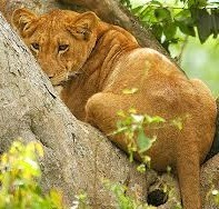 climbing lions