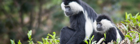 colobus-Monkey-tracking-rwanda-safari