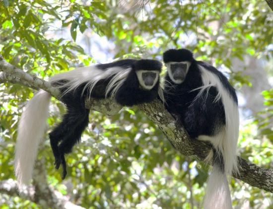 colobus-monkey , Rwanda safaris