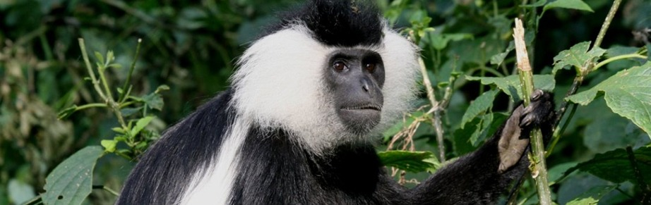 colobus-monkey-tracking-in-nyungwe