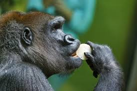 mountain gorillas eating