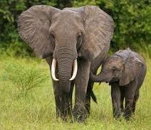 elephants-uganda safaris