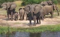 African elephants uganda safaris