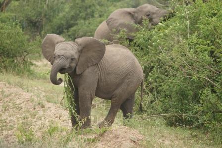 Elephants feeding in Uganda