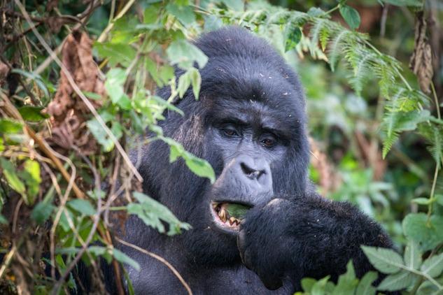 feeding - gorilla