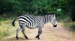 girafe uganda safari attractions