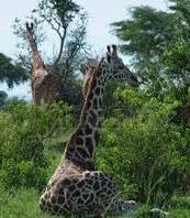 giraffe -uganda safaris