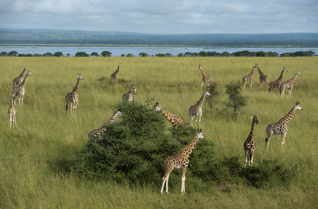 A herd of Rothschild's giraffes grazing on trees