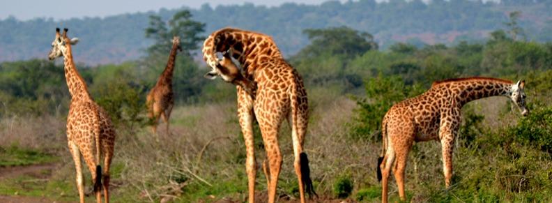 giraffe-in-akagera