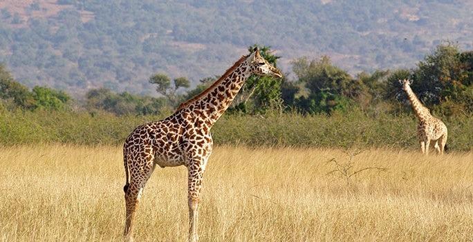 giraffe_akagera