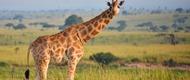 giraffee-uganda-safaris