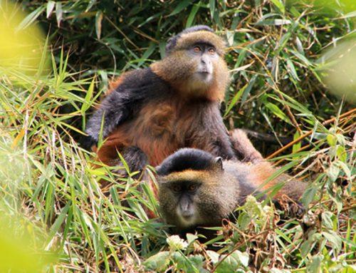 Golden Monkey Trekking in Mgahinga Gorilla National Park – Uganda Safari News