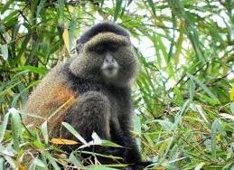 golden monkey- Virunga volcanoes Rwanda