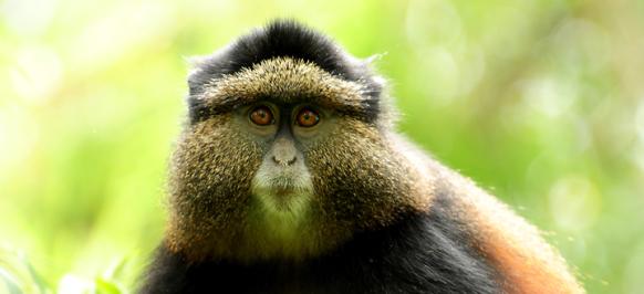 Golden Monkey Tracking Uganda Safari