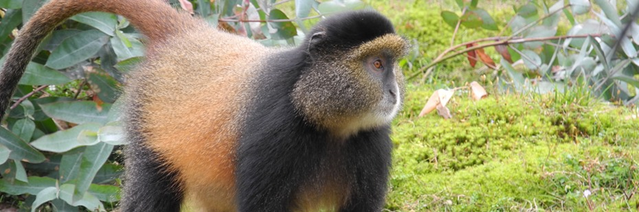 golden-monkeys-in-rwanda-volcanoes