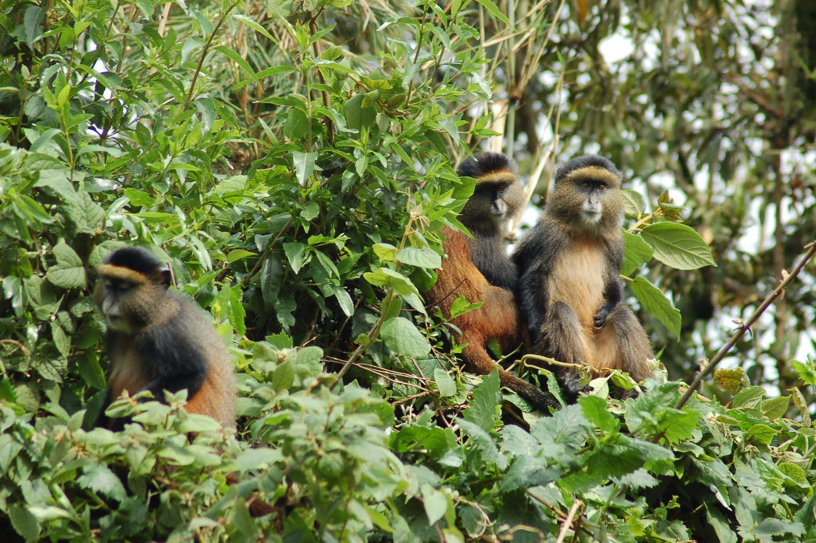 golden monkeys