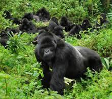 gorilla-africa-rwanda