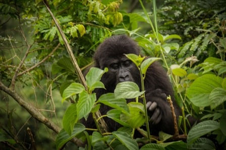 gorilla and tours - uganda