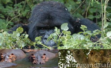 4 Days Uganda Gorillas & Wildlife Group Safari