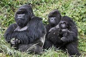gorilla family life