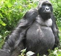 gorilla -image uganda