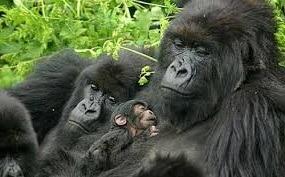 gorilla-image