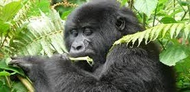 gorilla in mgahinga