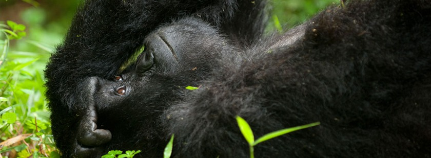 gorilla-in-mgahinga