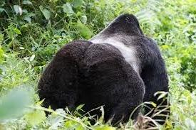 gorilla of uganda