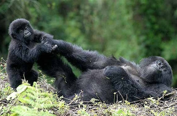 gorilla -rwanda -news